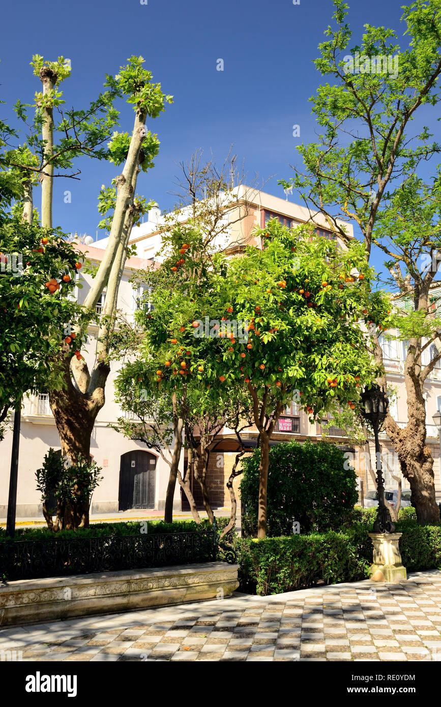 Orange trees growing at the roadside in Cadiz. - Stock Image