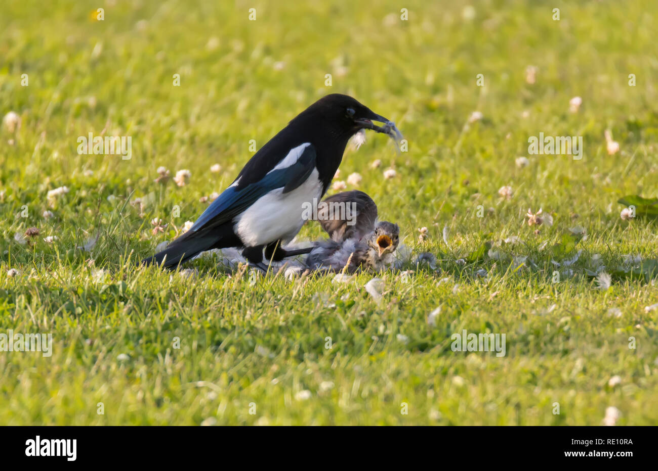 magpie preying on young fieldfare - Stock Image