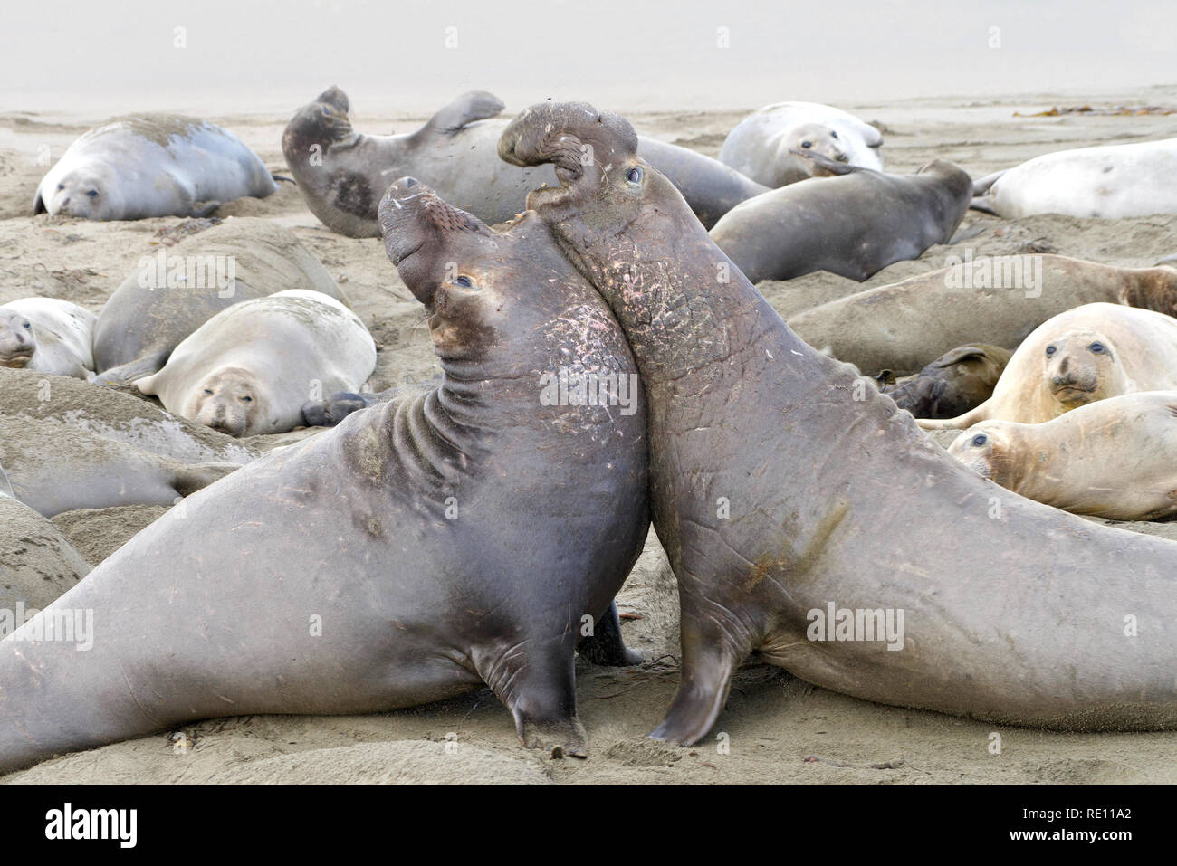 Two elephant seal bulls fighting. Bulls challenge each other for dominance. One challenges another, and one retreats. About 20 percent of challenges l - Stock Image