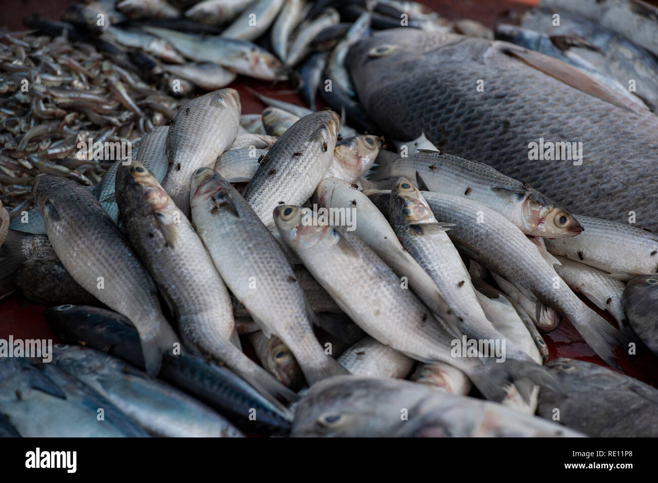 Fish covered in flies in an Indian fish market - Stock Image