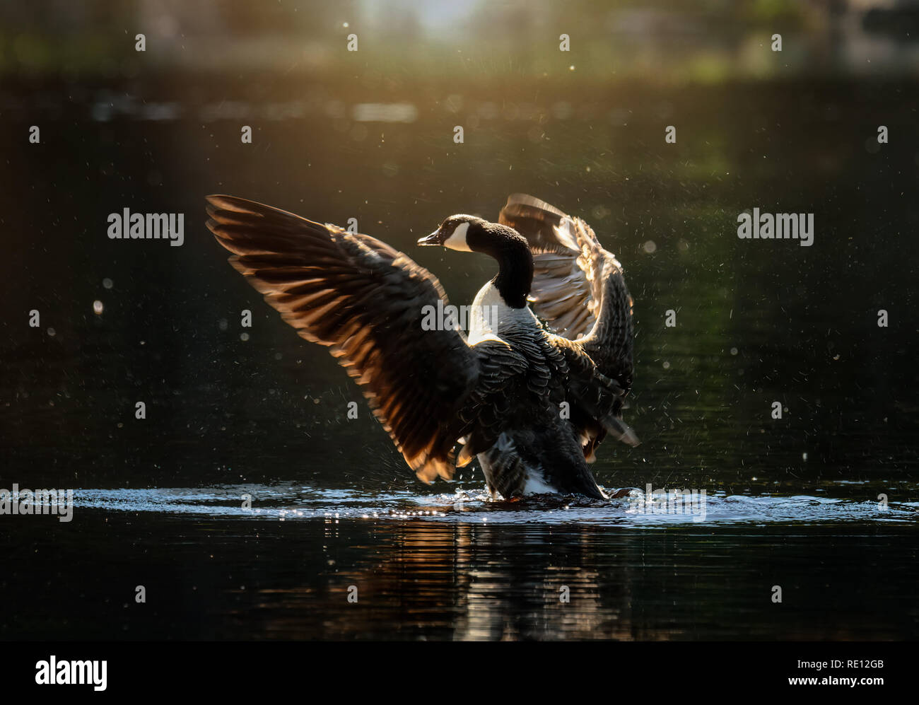 canada goose flapping its wings in small lake - Stock Image