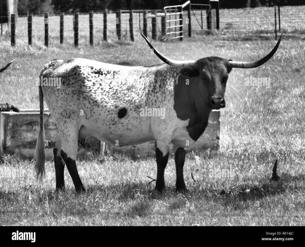 Texas longhorn black and white stock photos images alamy