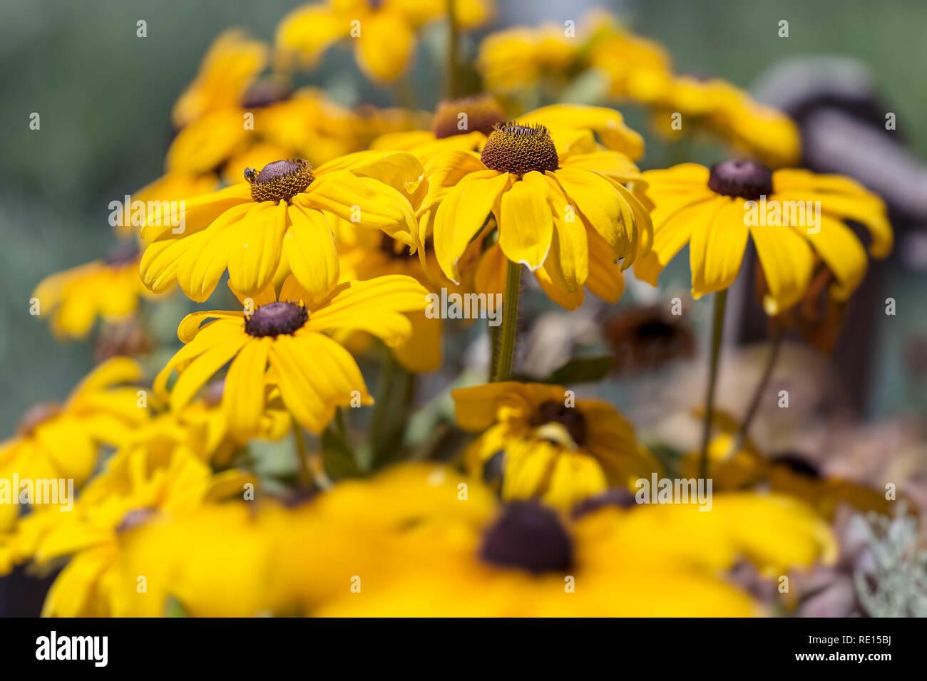 "Rudbeckia ""Indian Summer"" Stock Photo"