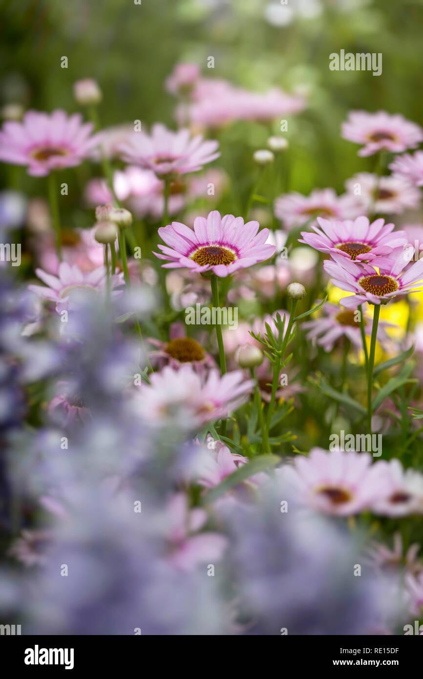 "Argyranthemum ""Grandessa Pink Halo"" Stock Photo"