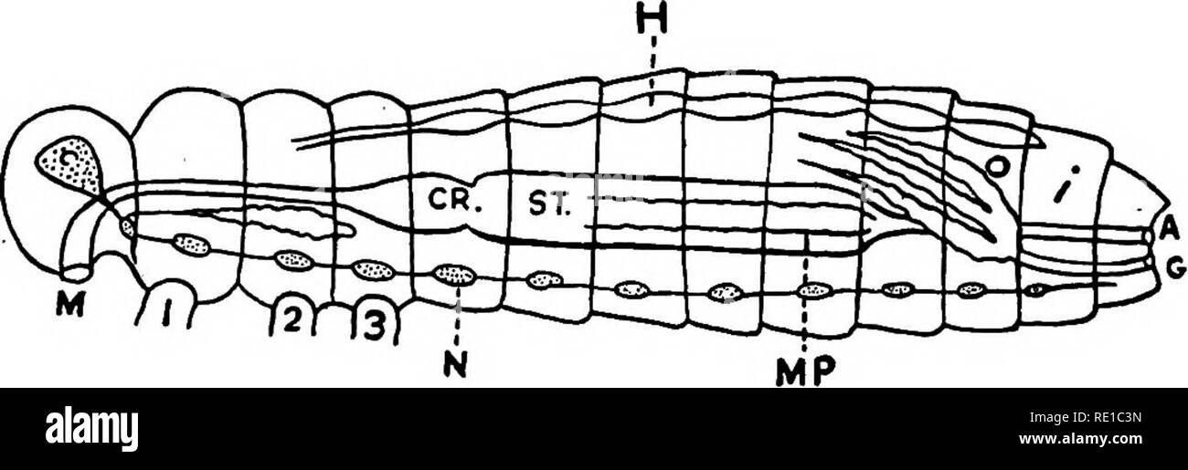 . Parasites and parasitosis of the domestic animals : the zoo?logy and control of the animal parasites and the pathogenesis and treatment of parasitic diseases . Domestic animals. Fig. 2.—Diagram of the Principal Internal Anatomical Parts of an Insect: m, mouth; cr, crop; st, stomach; i, lower portion of intestine; a, anus; h, heart; s, salivary glands; u, cerebral ganglion; n, ventral ganglion; Mp, Malpighian tubules; o, ovaries; g, genital aperature (after Boas, by Kirkaldy & Pollard). and a posterior,—^the metathorax. somewhat fused. The last two of these are usually. Please note that t - Stock Image