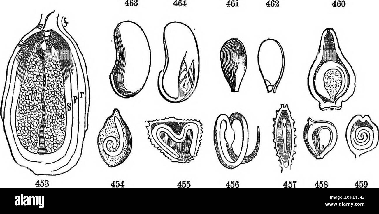 . Class-book of botany : being outlines of the structure, physiology and classification of plants : with a flora of the United States and Canada . Botany; Botany; Botany. THB SEED. 117 CHAPTEK XIY, THE SEED. 582. The seed is till perfected ovule, having an embryo formed with- in, which is the rudiment of a new plant similar in all respects to the original. The seed consists of a nucleus or kernel invested with 583. The integuments or coverings. The outer covering is the testa, the inner the tegmen, as in the ovule. The latter is thin and delicate, often indistinguishable from the testa. 463. S - Stock Image