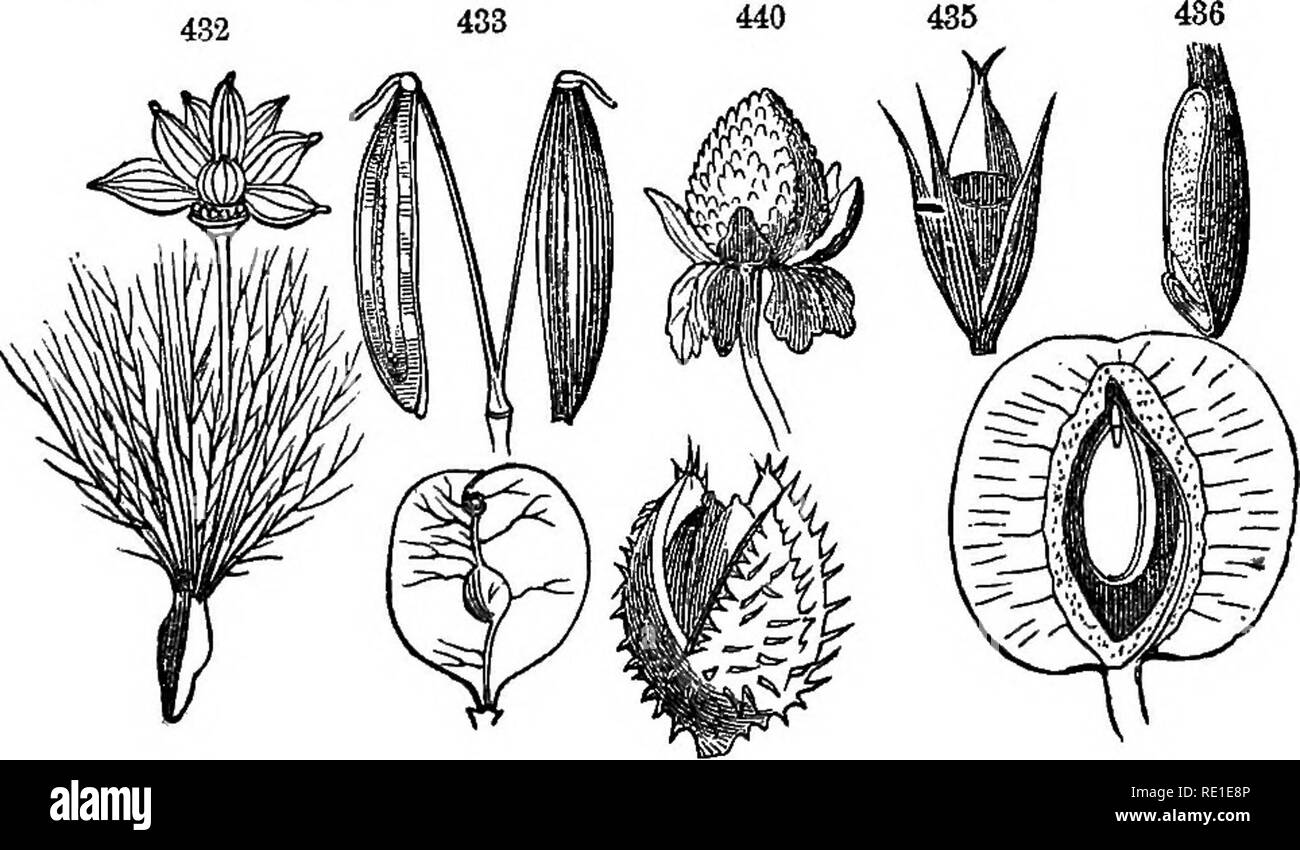 . Class-book of botany : being outlines of the structure, physiology and classification of plants : with a flora of the United States and Canada . Botany; Botany; Botany. 114 PERICARP. 556. The achenium is a small, dry, indehiscent pericarp, free from tte one seed which it contains, and tipped with the remains of the style (buttercups, Lithospermum). 557. The double achenium of the Umbeliferse, supported on a carpophore is called cremocairp. The 2-carpeled achenium of the Compositae, usually crowned with a pappus, is called cypsela. 558. The aohenia aee opieit mistaken for seeds. In the Labiat - Stock Image