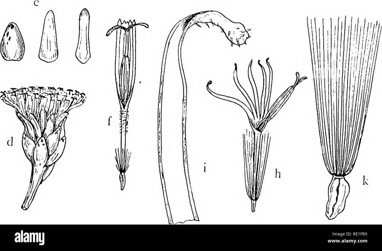 """. The phanerogams of the Juan Fernandez Islands. Botany. Fig. 39. a—c Dendroseris micrantha: a head, X i'