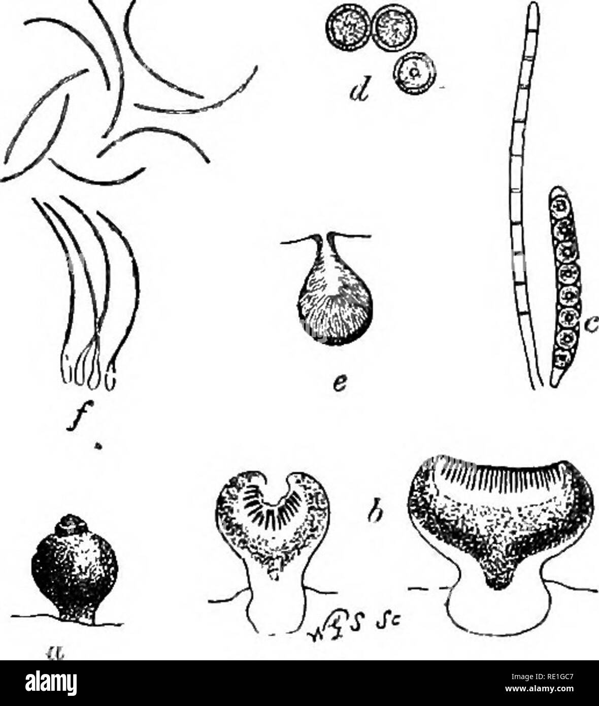 . A monograph of lichens found in Britain; being a descriptive catalogue of the species in the herbarium of the British Museum. Lichens. SPHKfCTRINA.] CAtlCIEI. 83 brownish or blackish, paraphyses usually little developed; hy menial gelatine scanty. Spsrmogoaes punetiform, black, the sterigmata somewhat simple. This tribe consists of rather small plants, som? of which are paragitio and readily overlooked, while others are conspicuous from their brightly coloured thalli. The ap^thecia sometimes have the stipes abnormally branched, and occasionally the capitulum ia proliferous. 20. SPHINCTRINA F - Stock Image