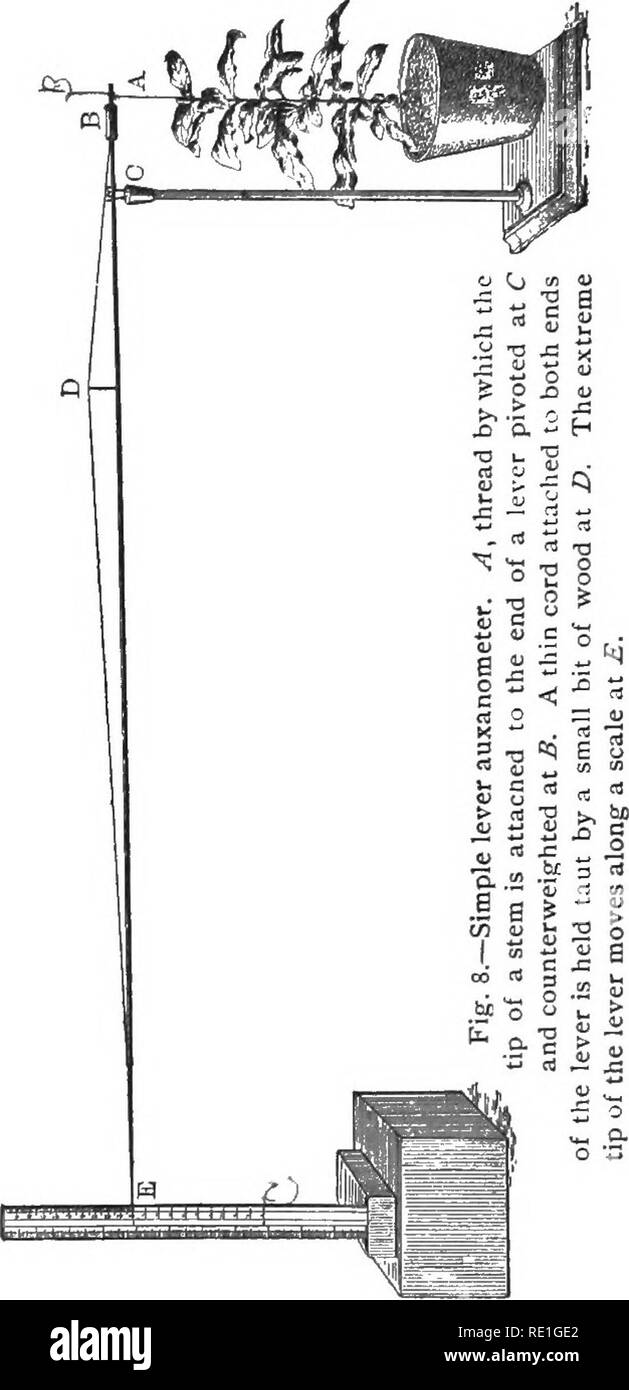 . Elementary plant physiology. Plant physiology. 18 Elementary Plant Physiology. a small, rapidly growing plant, and set it under the long end of the lever. Attach a thread to the extreme tip of the stem by a running loop, and bring the thread up to the lever, fastening. it at such length as to hold the lever nearly horizontal. Fix a metric ruler to a small wooden box, and set upright back of the tip of the lever. A half hour later the plant will have adjusted. Please note that these images are extracted from scanned page images that may have been digitally enhanced for readability - coloratio - Stock Image