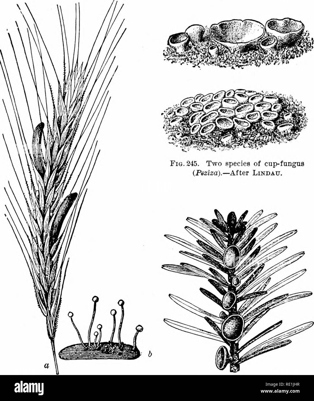 ". Plant studies; an elementary botany. Botany. THALLOPHYTES: FUNGI 277. Fig. 244. Head of rye attacked by "" er- got"" (a), peculiar grain-like masses replacing the grains of rye ; also a mass of ""ergot"" germinating to form spores (b).—After Tuxasne. Fig. 246. A cup-fungns (Pitya) grow- ing on a spruce (Picea).— After Rehm. In some of these forms the ascocarp is completely closed, as in the lilac mildew; in others it is flask-shaped; in others, as in the cup-fungi, it is like a cup or disk ; but in all the spores are inclosed by a delicate sac, the ascus.. Please note that th - Stock Image"