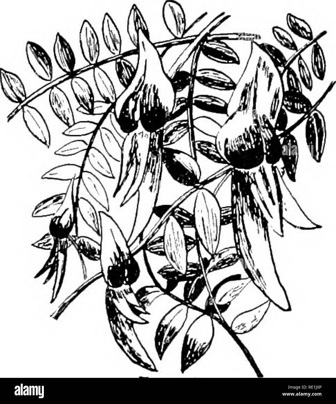 First studies in plant life in Australasia, with numerous