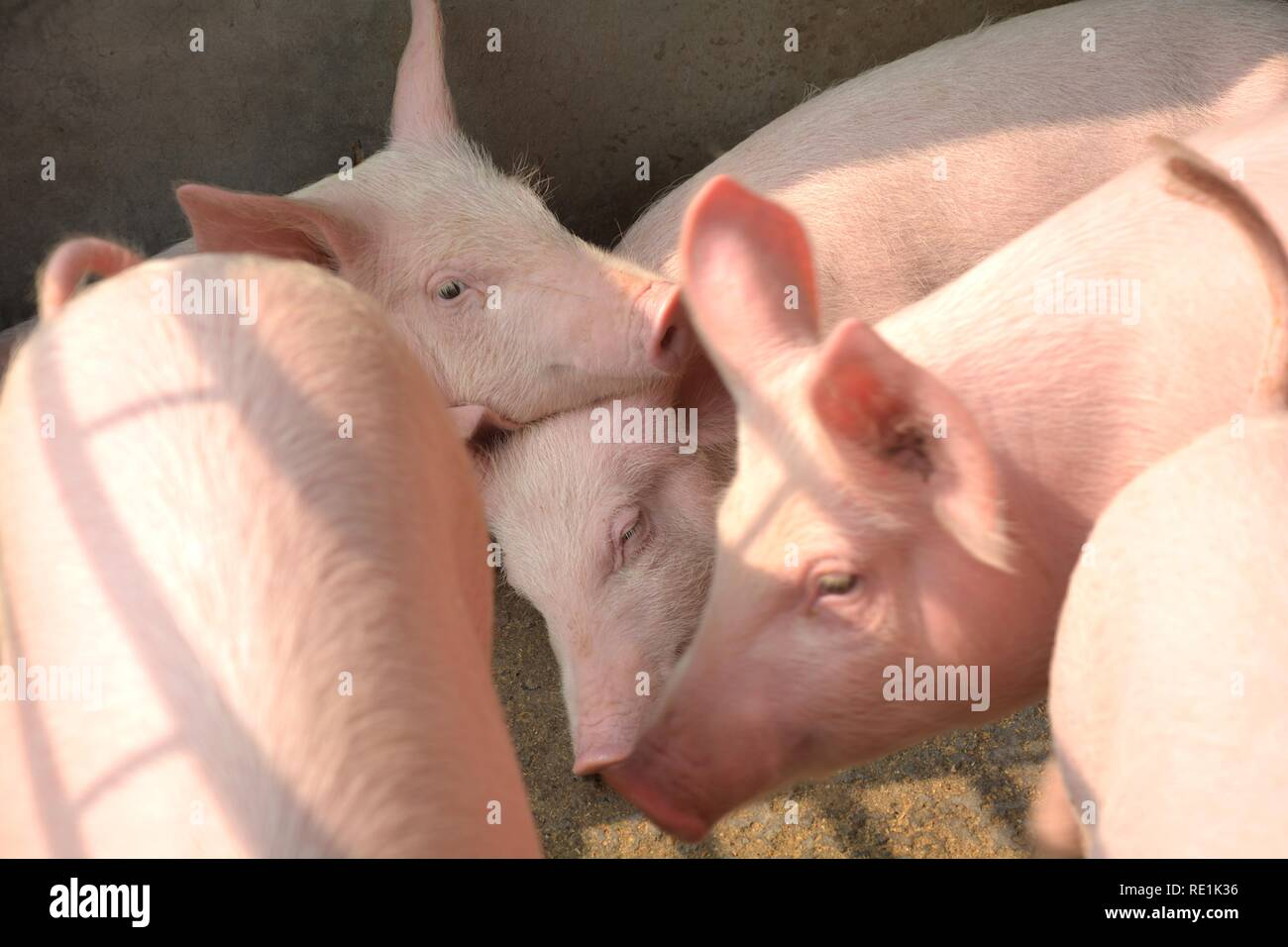 Close up of some white color domesticated piggy, piglets ( sus scrofa domesticus ), Large White Yorkshire pigs fiddling, playing with each other in a Stock Photo