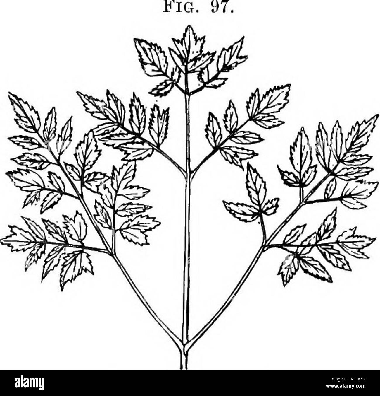 . A manual of botany. Botany. Digitate leaf of a Lupin (Palmate type). i^'(7. 96. Digitate leaf of Potentilla. The EpipodAum or Leaf-hladc.—As already indicated, this part of the leaf shows a very great variety of form, ranging from a cylindrical outgrowth to a very much dissected and flattened Fig.. Fig, 97. Tripinuate leaf. one. It usually consists of an axis which shows more or less evidence of branching, the axis itself and its several branches becoming winged, or remaining more or less cylindrical.. Please note that these images are extracted from scanned page images that may have been di Stock Photo
