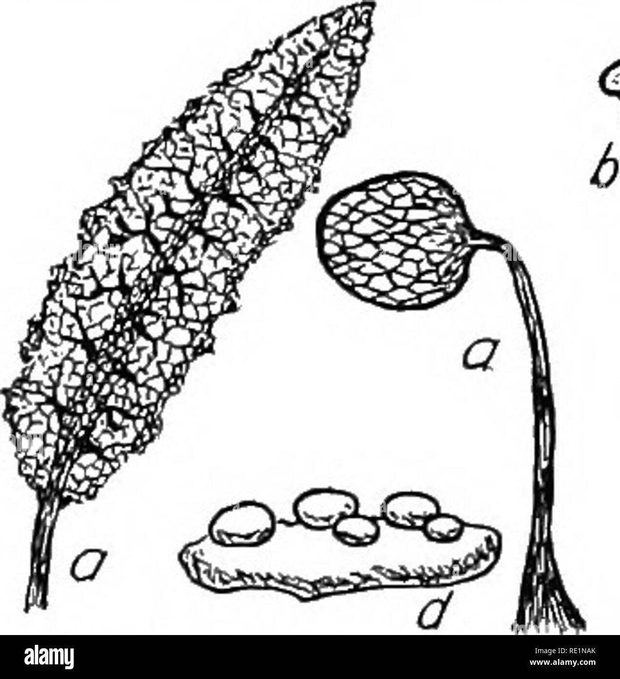 . College botany; structure, physiology and economics of plants. Botany. 274 COLLEGE BOTANY In rep'roduetion it forms stationary bodies of definite form which, resemble fungi. These structures are characteristic of the different species and are known as sporangia. They bear the spores which under favorable conditions of warmth and moisture give rise to ciliate, tmieellular, animal-like cells which fuse and form a new multinuclear plasmodium. Most of the species belonging to this division are sapTO- phytic, but some few are the causes of diseases of other plants. The club root of the cabbage, a - Stock Image