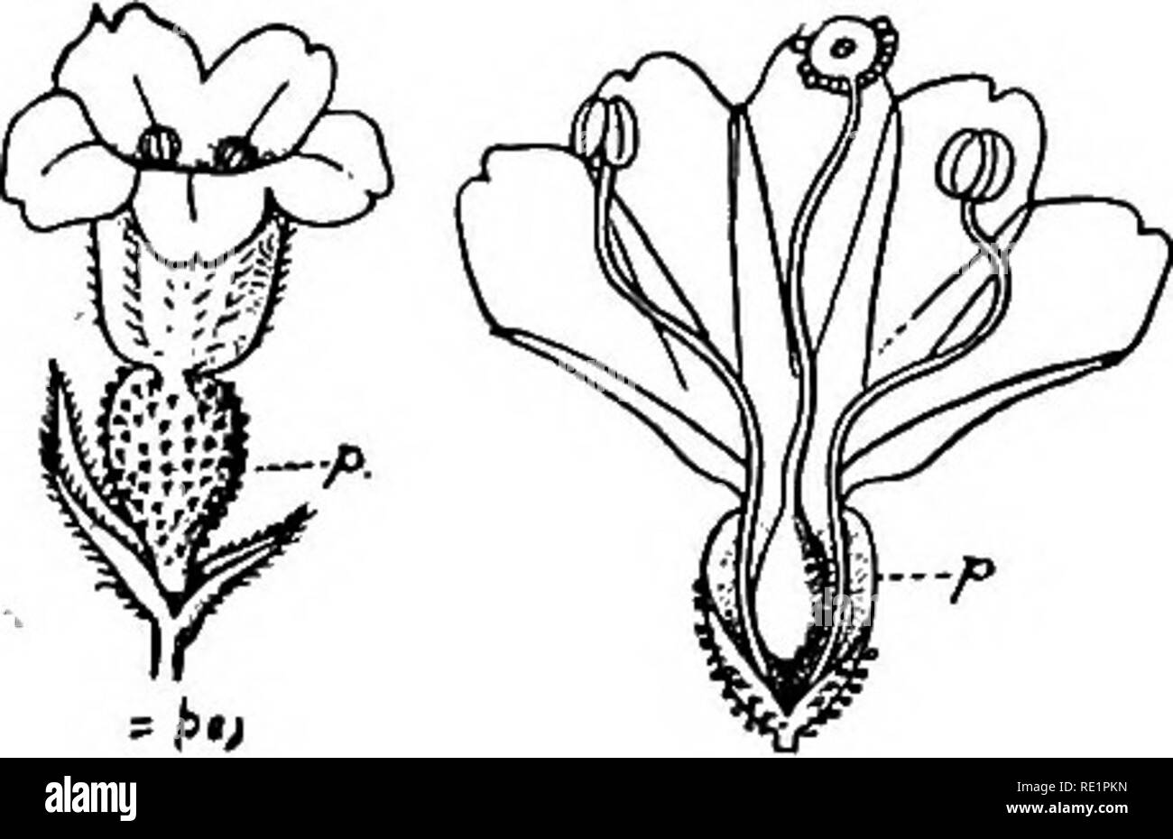 . A manual of Indian botany. Botany. 258 CLASSIFICATION. claw, now common in the Gangetic plains and else- where in India. It has capsules with 2 incurved beaks like the claws of a tiger (see fig. 128). By means of these beaks the capsules become attached to the hair or wool of wild animals and are thus dis- persed. Sub-class 4. iNCOMPLETyE Nat. Order i. Nyctaginacece.—Herbs, shrubs, or trees. Leaves usually opposite, entire. Flowers her- maphrodite, regular, often involucrate. Perianth usu- ally petaloid, connate, in- flated at the base, enclosing the ovary. Stamens 8 to 30, hypogynous. Carpe - Stock Image