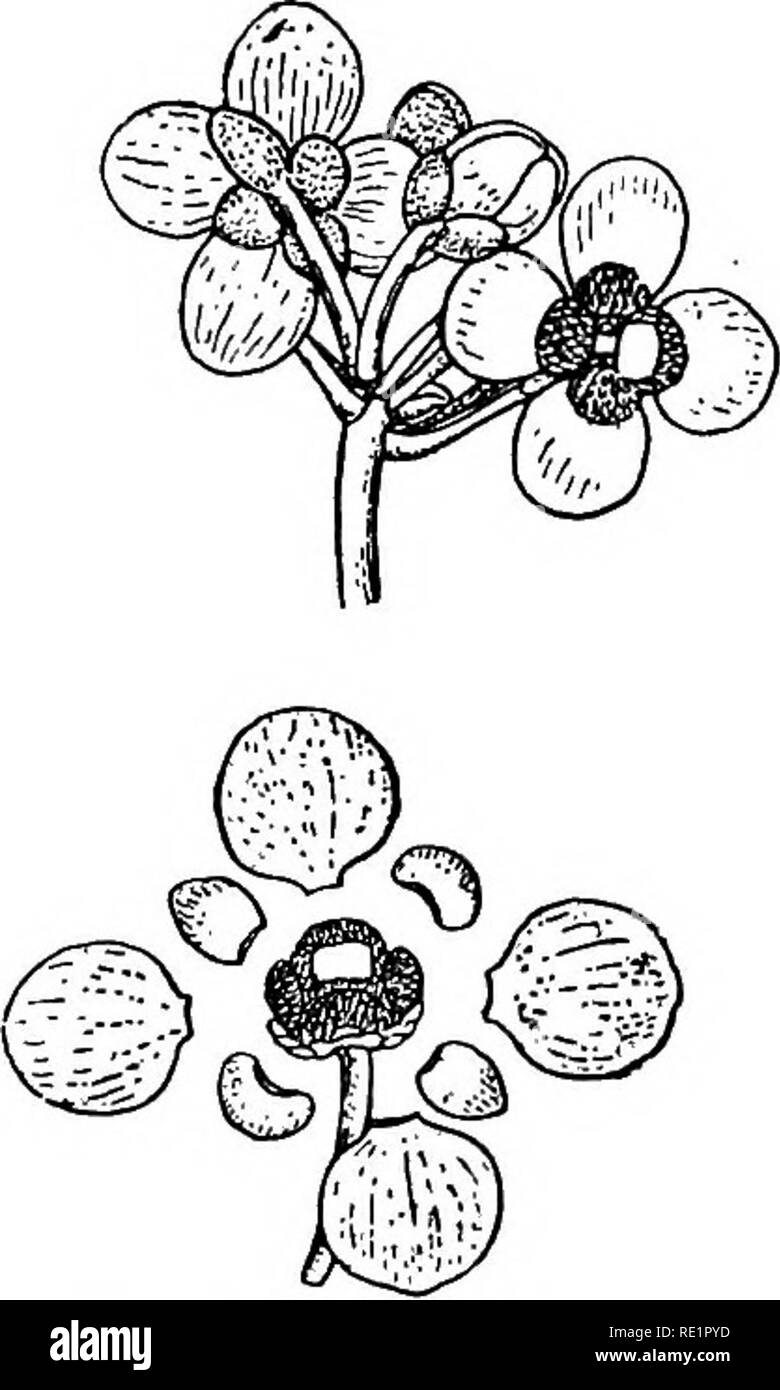 . A manual of Indian botany. Botany. I go CLASSIFICATION Garcinia Cowa or cowa tree of Chittagong, G. Xan- thochymus or dainphal of Sylhet and Chittagong, and G. pedunculata (fig. 162) or tikoor of Rungpur, all of which yield fruits with edible aril. Garcinia Mangostana yields the fruit Mangosteen, imported into Calcutta from Singapur for its delicious aril. G. speciosa of Andaman Islands is a similar tree. Calo- phyllum inophyllum or pun- nag or sultan-Champa is a handsome middle-sized tree, often planted for its beautiful coriaceous leaves. Nag-kesar or nagessur {Mesua ferrea). Please note t - Stock Image
