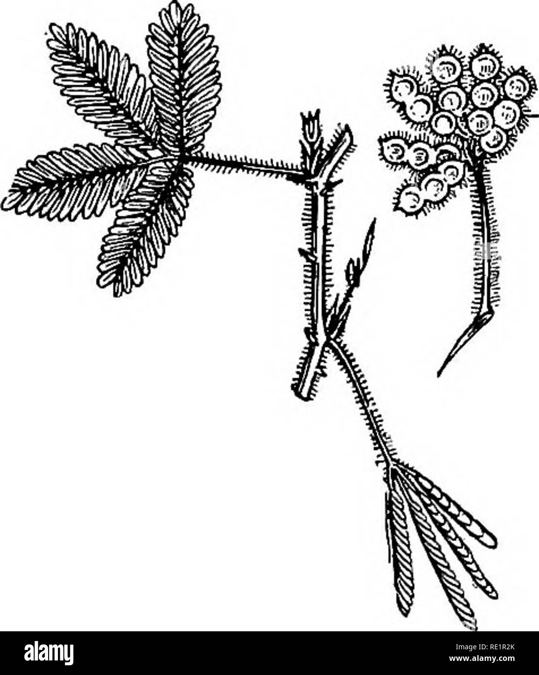 . A manual of Indian botany. Botany. 156 MORPHOLOGY. Fig. 138.- -Lajwabati {Mimosa pudica) a, lomentum. the ventral suture only, as in akanda (see fig. 123) and karabi; or occasionally by the dorsal suture only, as in Champa. A LEGUME is a fol- licle which dehisces by both the sutures, so that the pericarpdivides into two halvesorvalves as they are called, as in Pea (see fig. 91), moog, arhahar, shone, and kal-kasonda. In some legumes transverse spurious dissepiments are formed between the seeds, so that the cell- cavity is not continu- ous, but divided into one-seeded compartments, and the fr - Stock Image