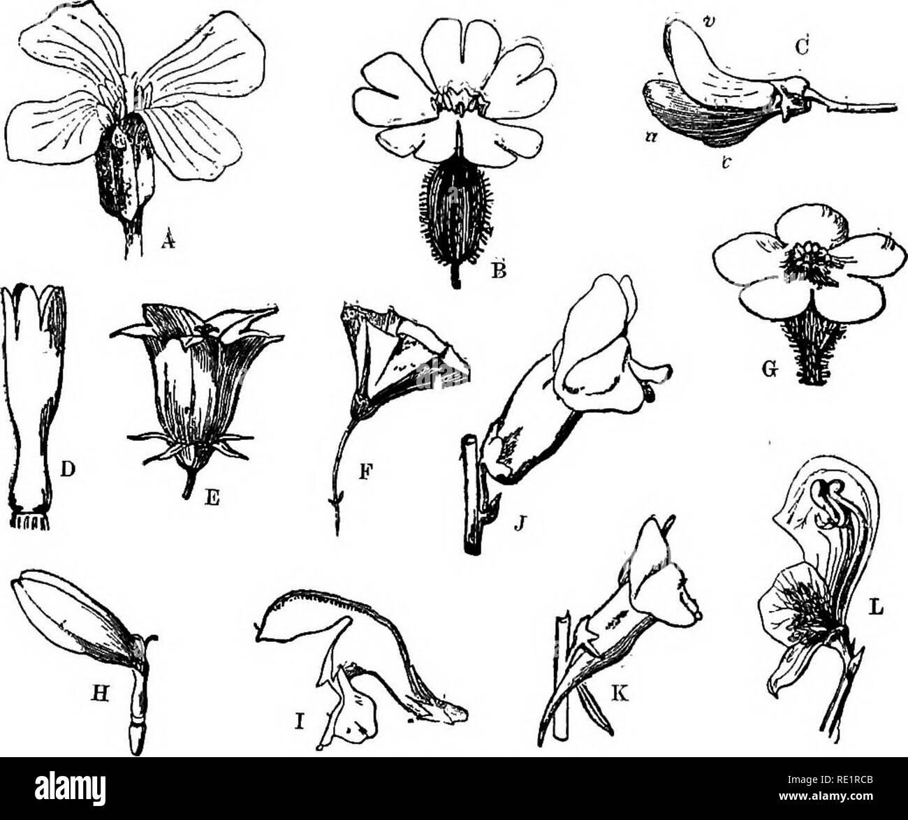 . A manual of Indian botany. Botany. THE FLOWER 8f hiiikhi or Sunflower, and gendha; (2) campanIiLate or bell-shaped—E, as in tepari {Physalis)i bhuin.^ kumrha {Ipomcea pamculata), kalmi-shag (tpomcea reptans); (3) infundibuliform or funnel=shaped—F, as in Datura, Tobacco, kalika-phul; (4) hypocRA-. Fig. 82.—Forms of Corolla A, Cruciform. b, Caryophyllaceous. o, Papilionaceous. D, Tubular. E, Cam- panulate. F, Funnel-shaped. G, Rotate. H, Ligulate. I, Bilabiate. J, Personate. K, Personate and spurred, l.. Nectaries. TERiFORM or salver-shaped, as in taru-lata {Quamoclii pinnata), rangan {Ixora  - Stock Image