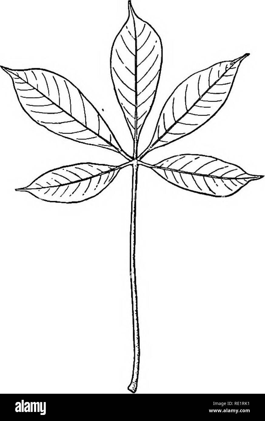 . A manual of Indian botany. Botany. THE LEAF 43 pentaphylla), yellow-flowered hurh-hurhe {Cleome viscosa), tikta-shag {Cratceva), &c. The leaflets of compound leaves are described in the same terms as are used in describing simple leaves. Ternate leaves are either pinnately ternate or palmately ternate, according as the leaflets are petiolate or sessile or subsessile. The petiole is usually cylindric or semi - cylindric in form, with often a more or less grooved upper surface. In Orange and other plants of this family the petiole is winged and articulated to the blade. In some plants the  - Stock Image