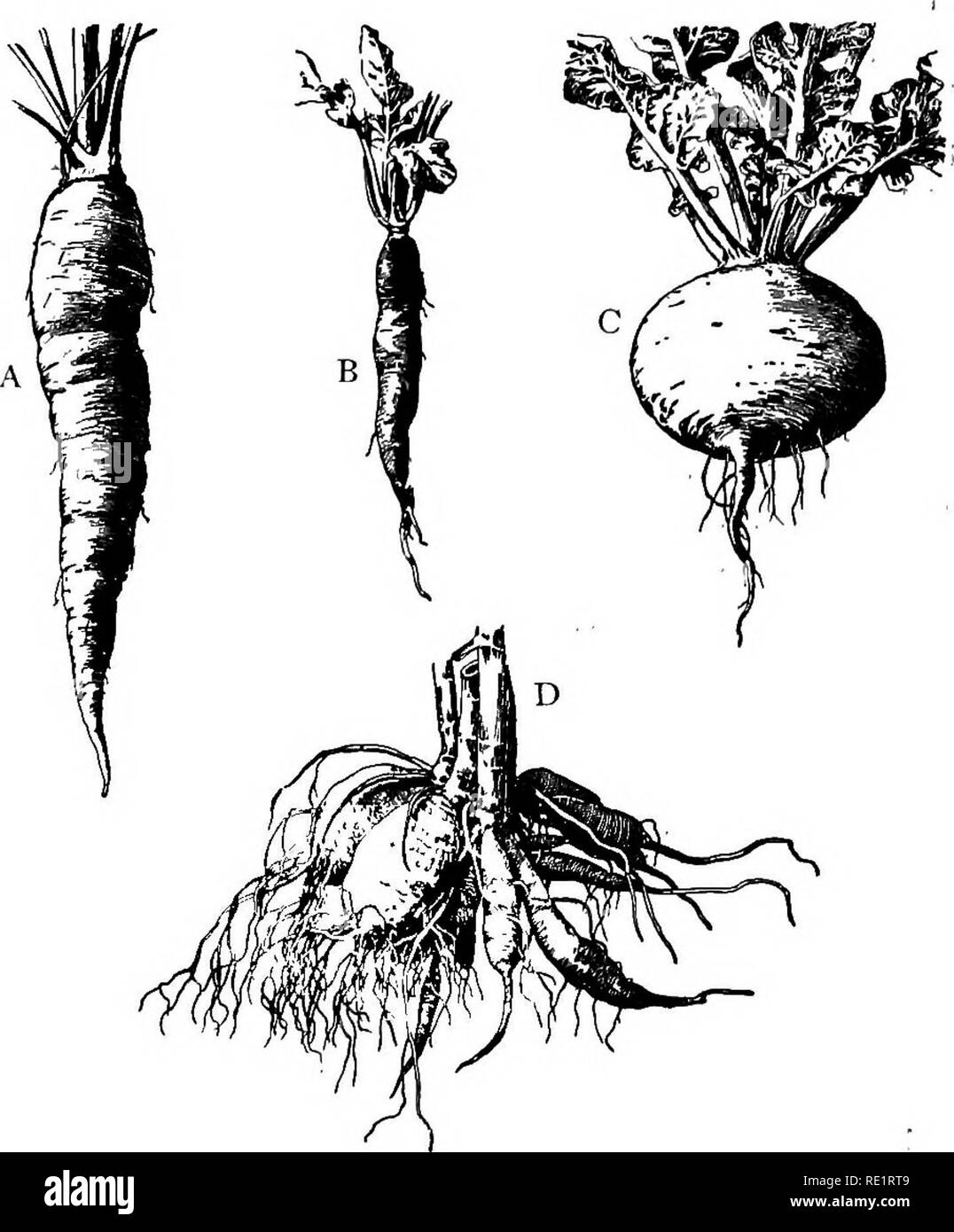 . A manual of Indian botany. Botany. i6 MORPHOLOGY leaves, or other parts of plants. Such roots are said to be FALSE or adventitious as opposed to true or RADICULAR roots. One of the best examples bf.felse. Fig. 14.—Tap-roots A, Carrot or Gajar, and B, Radish or Moola (fusiform). 0, Turnip or Salg;um (napiform). o, Tuberous root. roots is afforded by the Banyan tree, the branches of which produce roots which for some time remain suspended in the air till they reach the ground and penetrate the soil; kia (fig. 15) is another common example. The leaves of pathar-kucha or Bryor. Please note that  - Stock Image