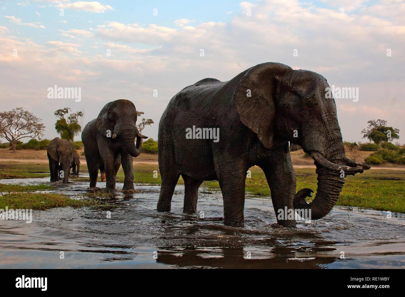 Elephants crossing Chobe River, Chobe National Park, Botswana - Stock Image