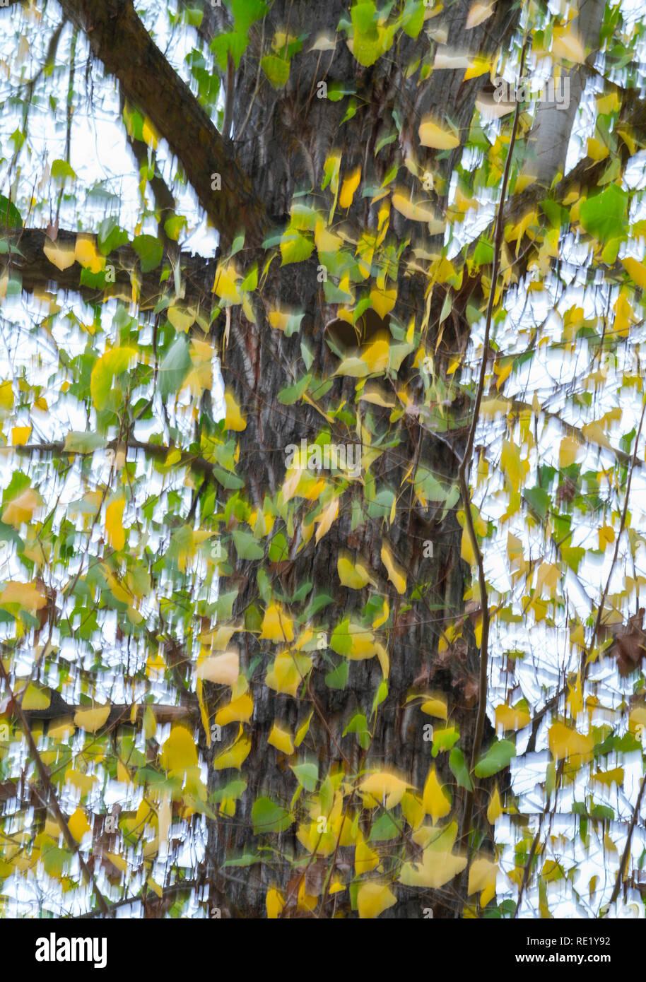 Populus in autumn, Dehesa de Colmenarejo, La Pedriza de Manzanares, Sierra de Guadarrama National Park, Manzanares el Real, Madrid, Spain, Europe Stock Photo