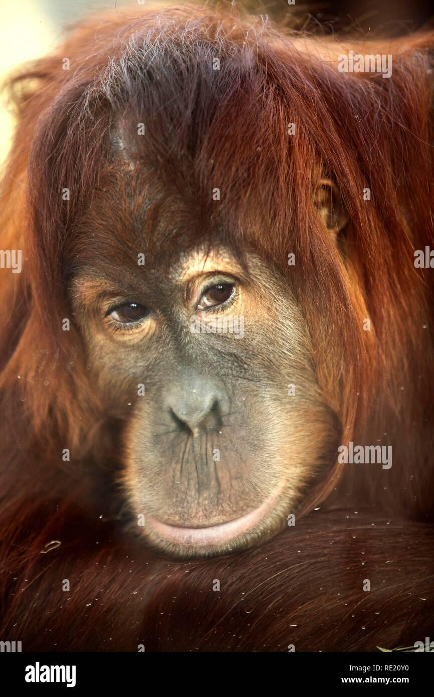 Orangutan (Pongo), Asien Erlebniswelt area, Zoom Erlebniswelt zoo, Gelsenkirchen, Ruhrgebiet area, North Rhine-Westphalia - Stock Image