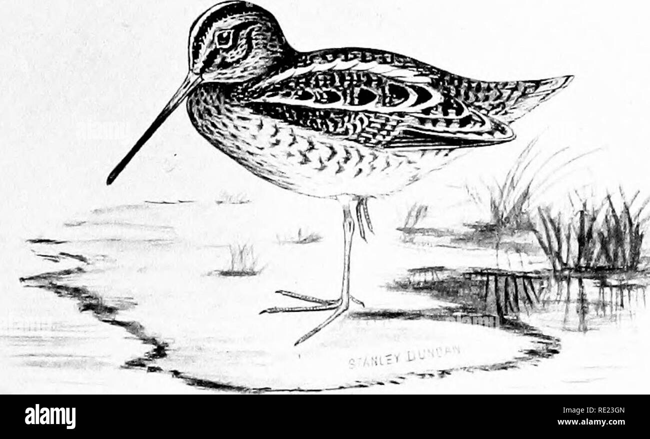 . The complete wildfowler. Game and game-birds; Hunting. COMMON SNIPE. Please note that these images are extracted from scanned page images that may have been digitally enhanced for readability - coloration and appearance of these illustrations may not perfectly resemble the original work.. Duncan, Stanley; Gull, Cyril Edward Ranger, 1876-1947. London, G. Richards, Ltd - Stock Image