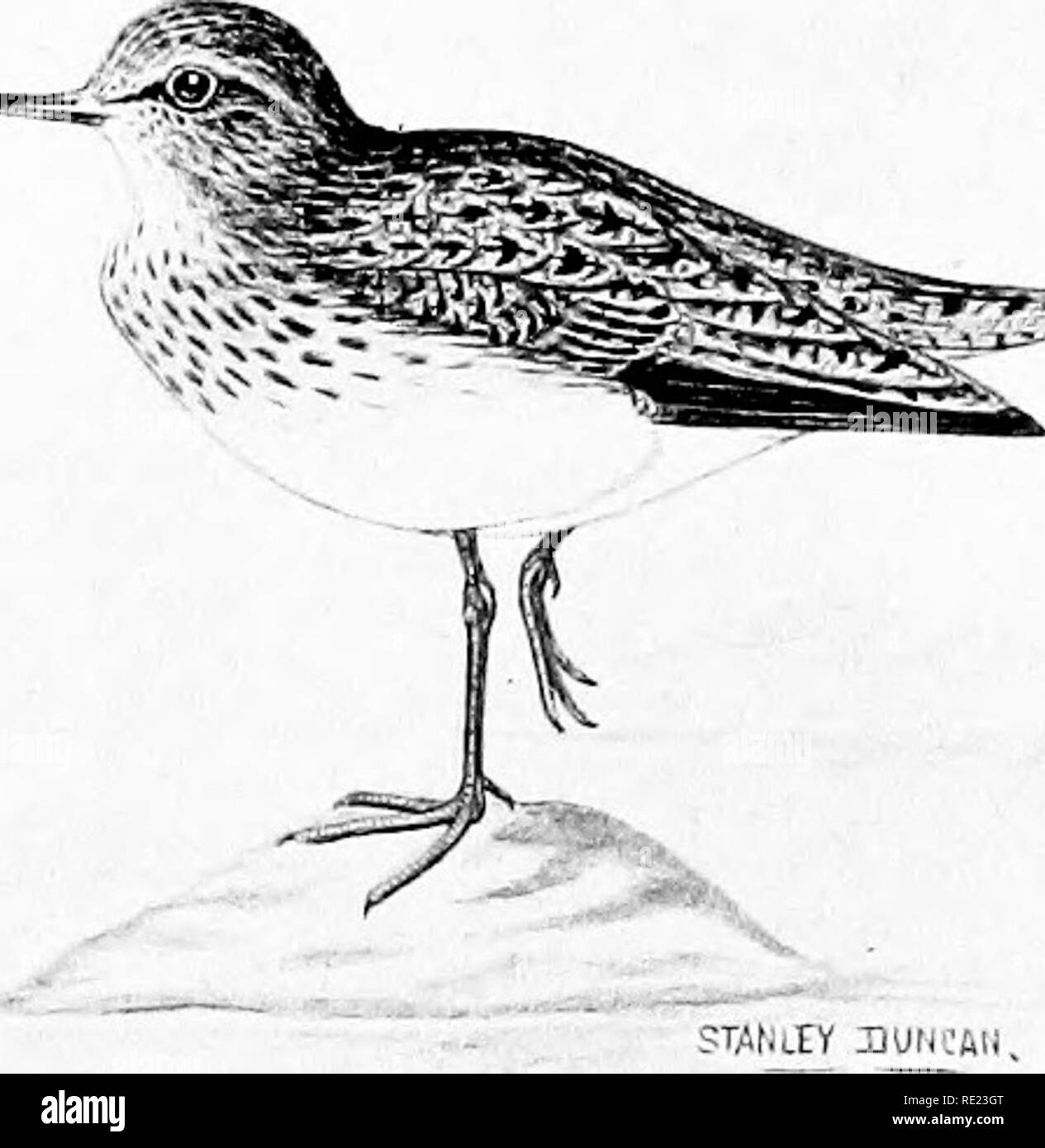 . The complete wildfowler. Game and game-birds; Hunting. LITTLE STINT '^^V^j^y. COMMON SANDPIPER. Please note that these images are extracted from scanned page images that may have been digitally enhanced for readability - coloration and appearance of these illustrations may not perfectly resemble the original work.. Duncan, Stanley; Gull, Cyril Edward Ranger, 1876-1947. London, G. Richards, Ltd - Stock Image