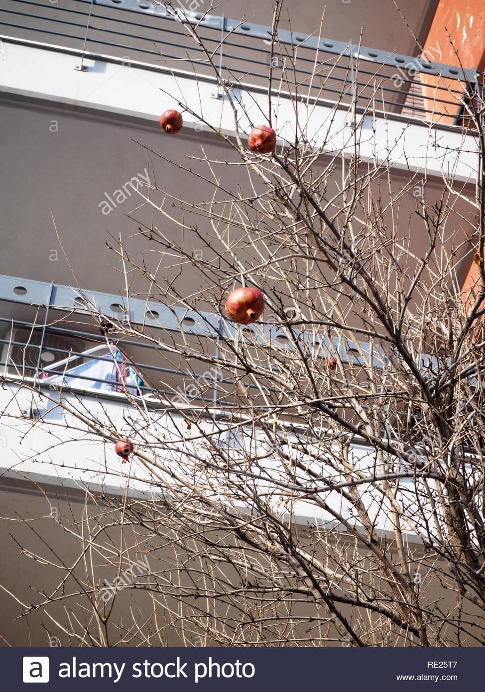 Pomegranate tree with pomegranates on it closer look - Stock Image