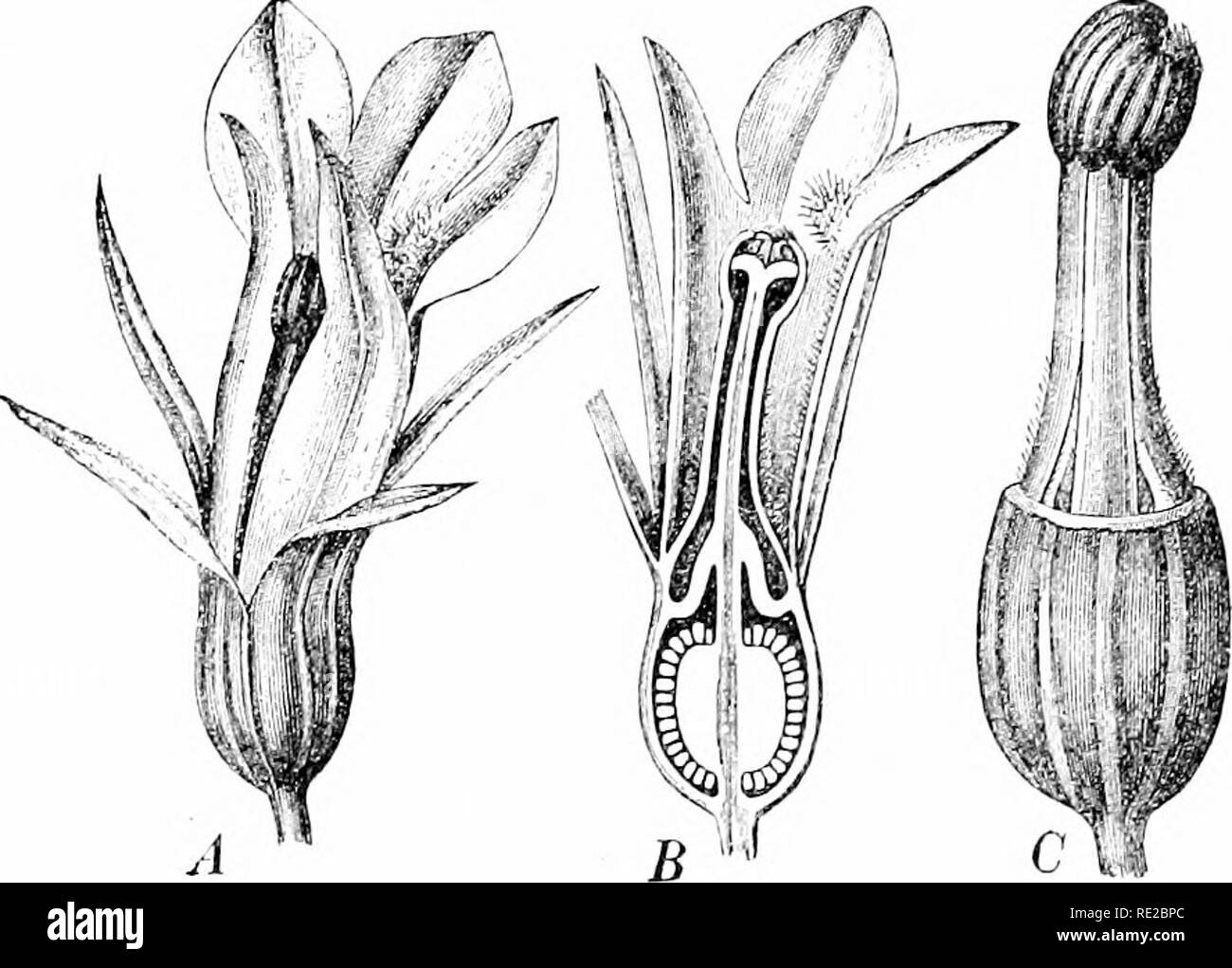 . Plants and their uses; an introduction to botany. Botany; Botany, Economic. Fig. 188, I,âIndian Tobacco (Lobelia inflala, Bellflower Family, Cam- â panulacetr). Flowering top. Tip of flower-cluster. Fruit. (Britton and Brown.)âAn annual, growing 1 ni. tall or less; leaves hairy; flowers light blue; fruit smooth. Native home, North America.. Fig. 188, II.âIndian Tobacco. -1, flower, entire, J. B, same, cut verti- cally. (', flower, with cal_vx and corolla removed. (Luerssen.). Please note that these images are extracted from scanned page images that may have been digitally enhanced for readab - Stock Image