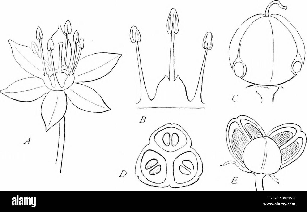 . Plants and their uses; an introduction to botany. Botany; Botany, Economic. C4 VARIOUS FOOD-PLANTS. Fig. G1.—Onif^n. A, flower, enlarged. B, three stamens, showing their unequal size, and eonnection at tlie i^ase. (', young p)od. D, the same cut across to sliow tlie tliree compartments and their seeds. E, dry pod spUt open naturally to release the seeds. (Redrawn from Reichenbach.). Please note that these images are extracted from scanned page images that may have been digitally enhanced for readability - coloration and appearance of these illustrations may not perfectly resemble the origina - Stock Image