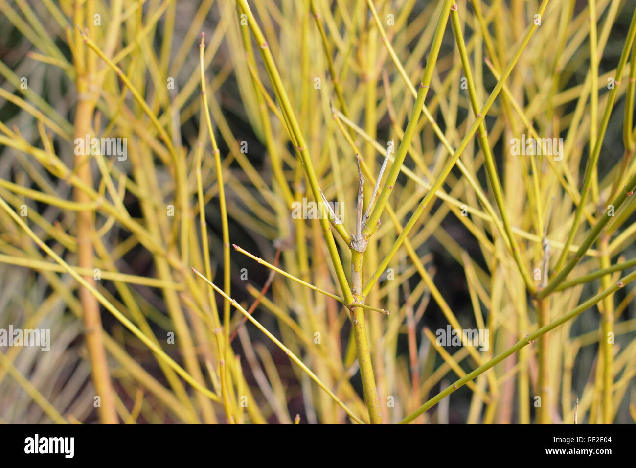 Vibrant green stems of Acer negundo 'Winter Lightning', also called Box elder 'Winter Lightning', winter, UK - Stock Image