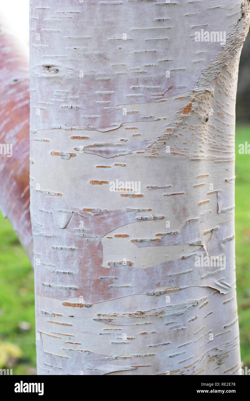Betula utilis subsp. albosinensis 'Fascination'. Attractive bark of this Chinese Red Birch tree in winter, UK - Stock Image