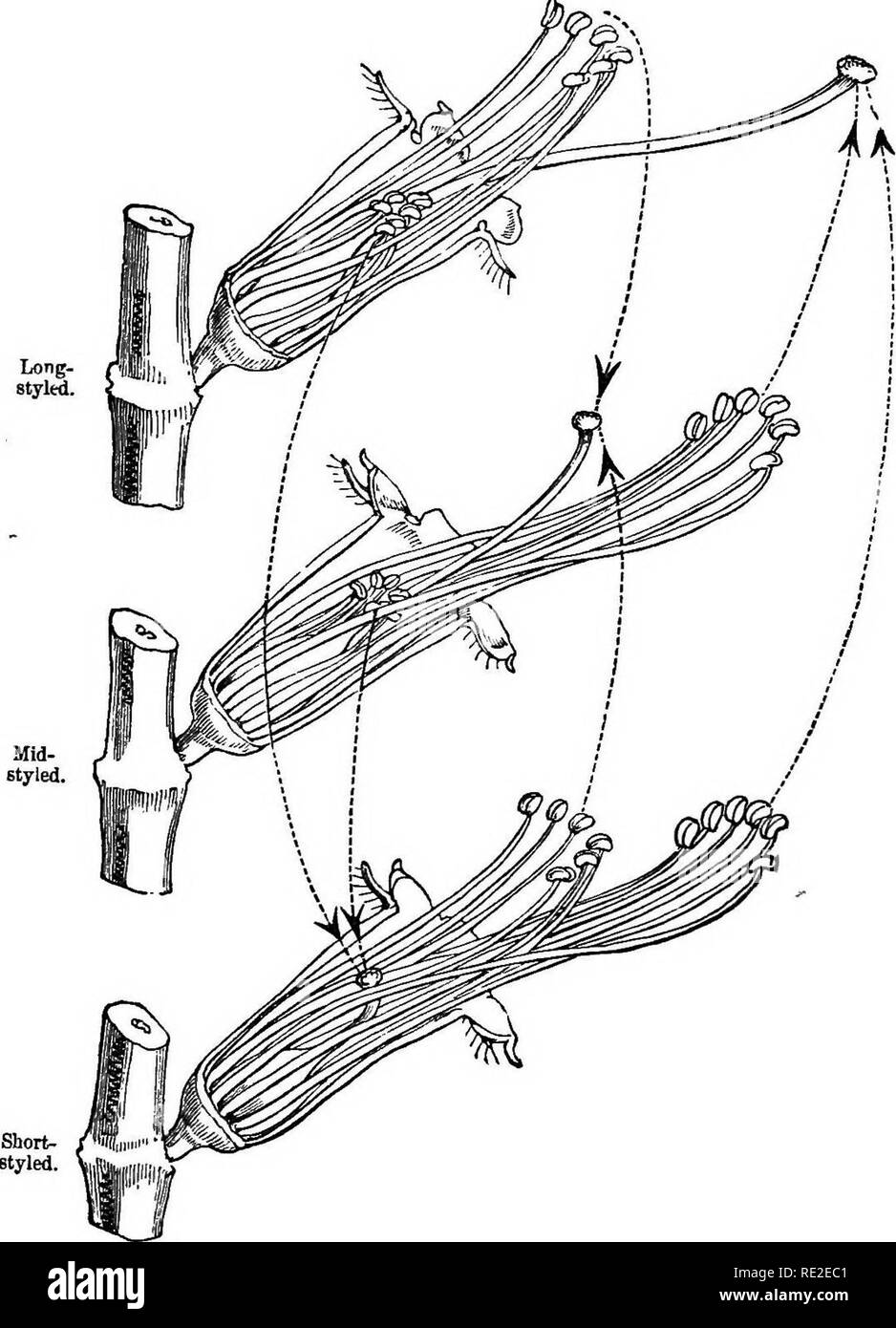 . The different forms of flowers on plants of the same species. Plants; Fertilization of plants. Chap. IV. LYTHKUM SALICARIA. Fig. 10. 139. Diagram of the flowers of the three forms ot Zythntm salicaria,m their natural position, with the petals and calyx removed on the near side : enlarged six times lie dotted hnes with the arrows show the directions in which pollen must be earned to each stigma to ensure full fertility.. Please note that these images are extracted from scanned page images that may have been digitally enhanced for readability - coloration and appearance of these illustrations  - Stock Image