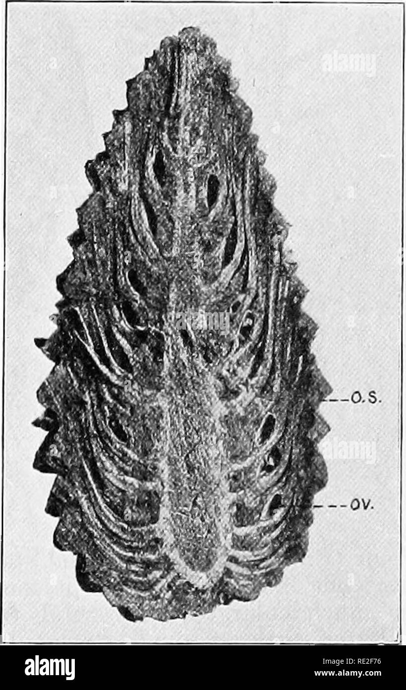 . Fundamentals of botany. Botany. 420 STRUCTURE AND LIFE HISTORIES that the ovuUferous scale represents two sporophylls fused together. 372. Megasporangia.^—As in Cycas, the megaspor- angium is an ovule, comprising a nucellus (sporangium proper), surrounded by an integument. At the apex the integument does not come quite together, so that a. Fig. 310.—Median longitudinal section of a pine cone, scale; 011, ovule at the base of a scale. o.s, ovuliferous tiny opening or pore (the micropyle) is left. The micropyle leads to^the pollen-chamber below (Figs. 309 and 311). The megaspores are more back - Stock Image