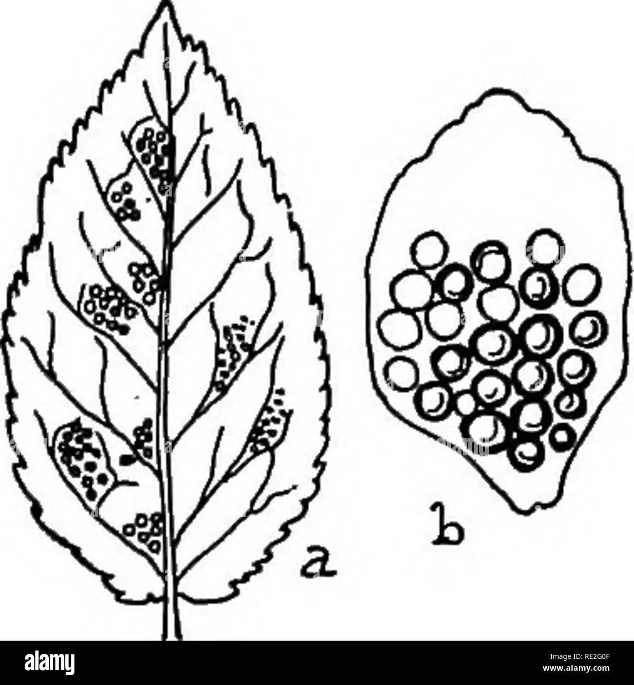 184 black and white stock photos images page 2 alamy Crip Killer Gang Sign the british rust fungi uredinales their biology and classification rust fungi