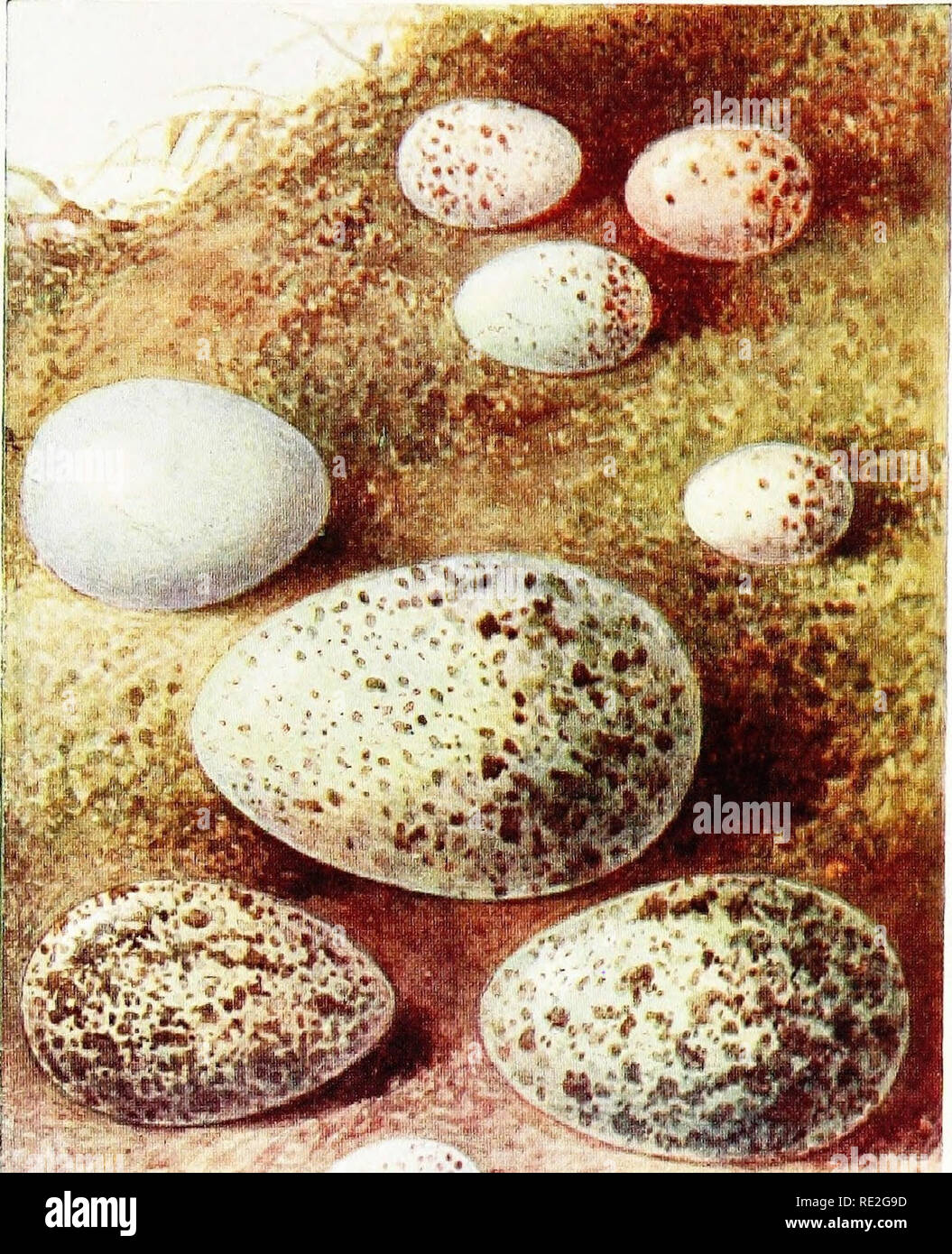 Chaffinch Eggs Stock Photos Chaffinch Eggs Stock Images