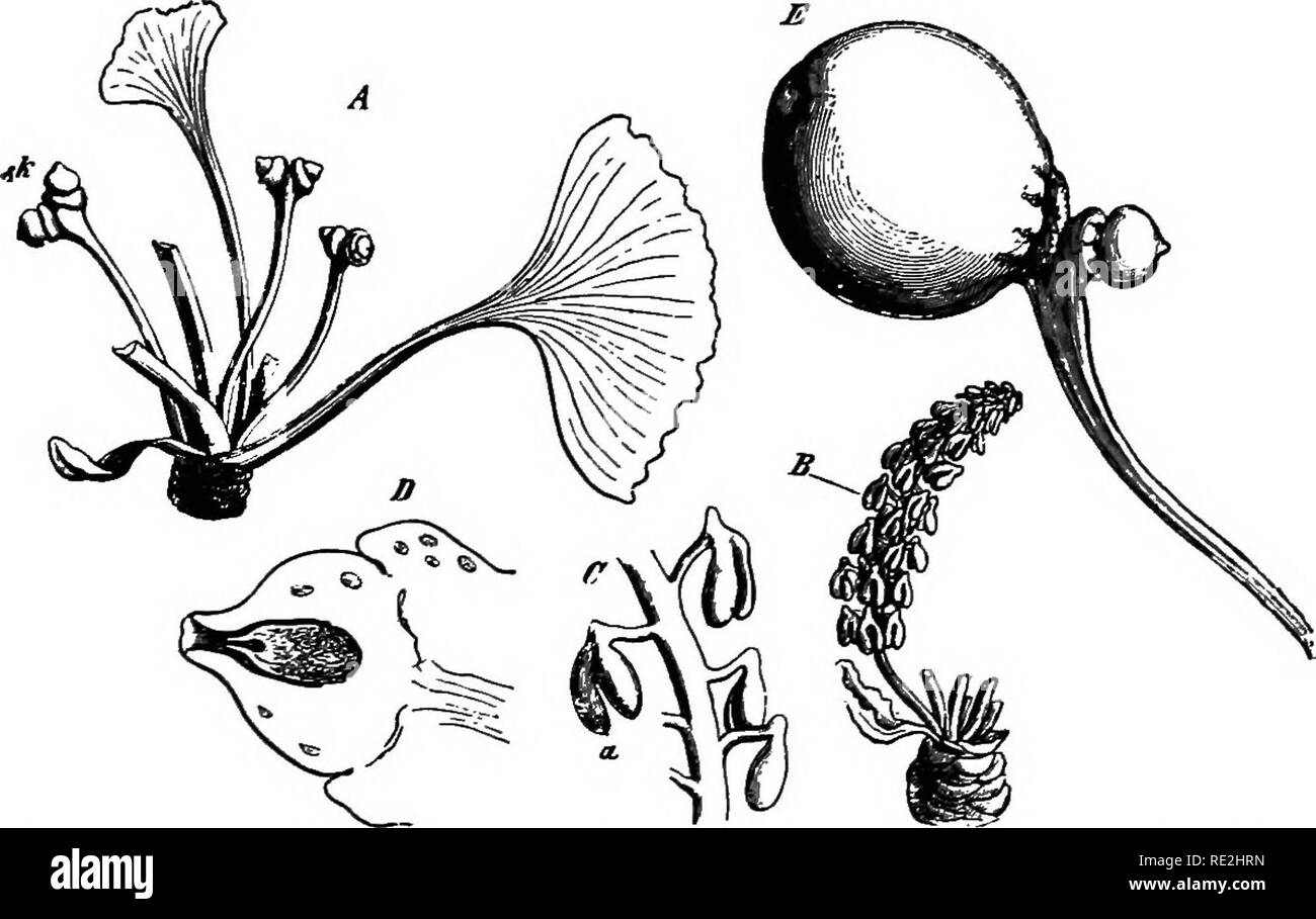 . Morphology of spermatophytes. [Part I. Gymnosperms]. Gymnosperms; Plant morphology. GINKGOALBS 39 In 1869 Van Tiegliem ^ published his view that the stalk represents a petiole, and that the two OYiales are determined by the two characteristic lobes of the blade. According to this view, the whole structure stands for a single carpel. Van Tieghem further sees in the collar at the base of each ovule a reduced arillus, which name of course gives no clew to its homology. In 18Y2 Strasburger^ published the view that the stalk is a shoot, and that the collar is the rudiment of the first pair of lea - Stock Image