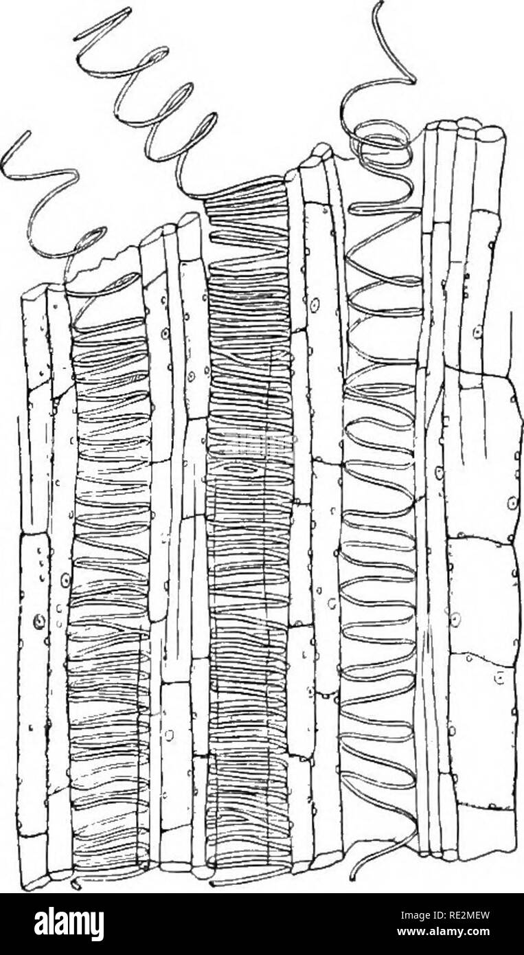 . Practical botany. Botany. 40 PEACTKIAL ItOTANi' consists of a cellular portion (o) which belongs to the bark system, iinil a fibrous and tubular portion (w) which belongs to the -wood system. Briefly stated, the uses of some of the several parts are as follows: (1) The epidermis serves as a protective covering for the young stem, and to a consider- able extent prevents it from becommg dried up. (2) The layers of cork cells soon formed close beneath the epidermis (not separately shown in the diagram) prevent loss of water and consequent diying ujj. (^)) The layers of green cells which at firs - Stock Image