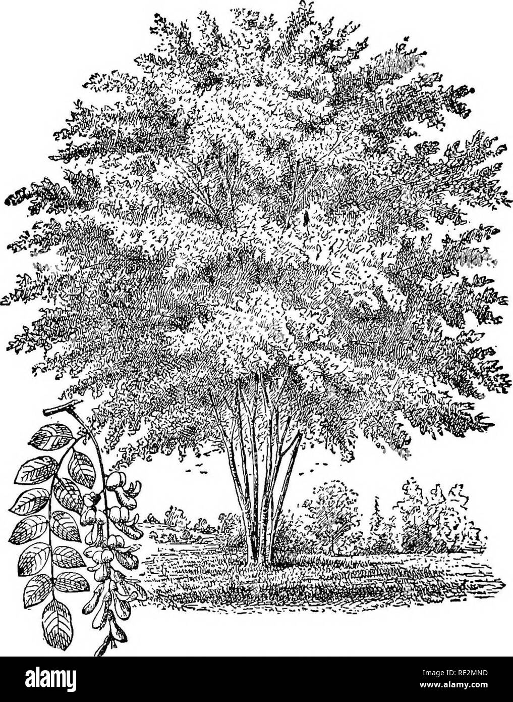 . American horticultural manual ... Gardening; Gardening; Fruit-culture. 342 HORTICULTURAL MAXUAL. thick, corky bark and elegant pinnate foliage three or four feet long gives variety to a tree group. The horse-chestnut family is exceedingly varied, and. Pia. 93.—Yellow-wood {Cladastris tinctoria). some of its members are hardy over nearly the whole Union. In the East and Southwest the ^Escuhis hippocastanum, or white-flowered horse-chestnut, is exteiisively planted for street, avenue, and park trees. The double-flowered vari-. Please note that these images are extracted from scanned page image - Stock Image