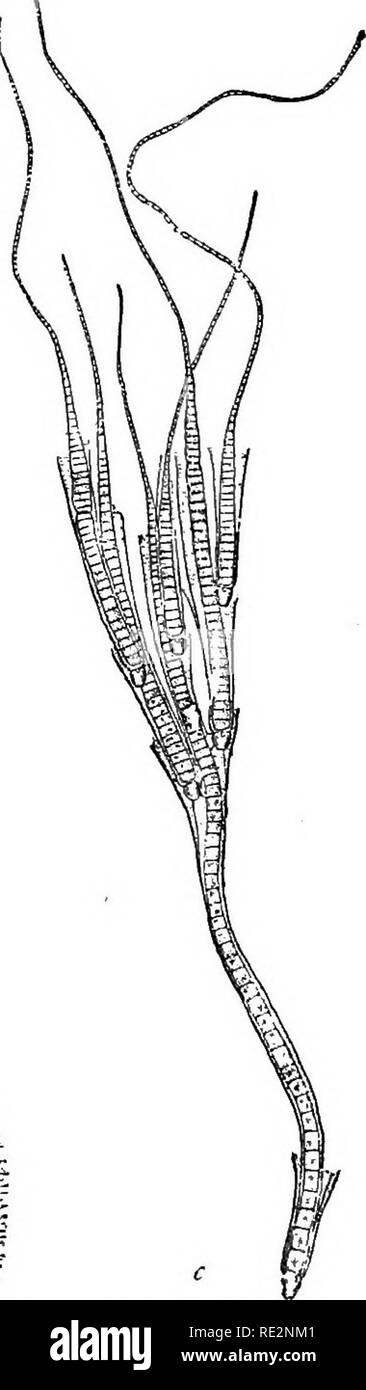 . A handbook of cryptogamic botany. Cryptogams. Fig. ^i,z.—Rbiularia.polyatis Hauck. a, invested in its gelatinons envelope (natural size) *, vertical section (x 12). c, filament ( x 150). (After Hauck.) forming a ' pseudo-ramulus' or false branch ; the original filament then develops a new apical portion in a direct line above the heterocyst. Heterocysts have not yet been observed in all the genera ; they some- times occur interstitially in the filament without giving rise to a pseudo- ramulus ; their function is obscure. The terminal hyaline bristle is of. Please note that these images are e - Stock Image