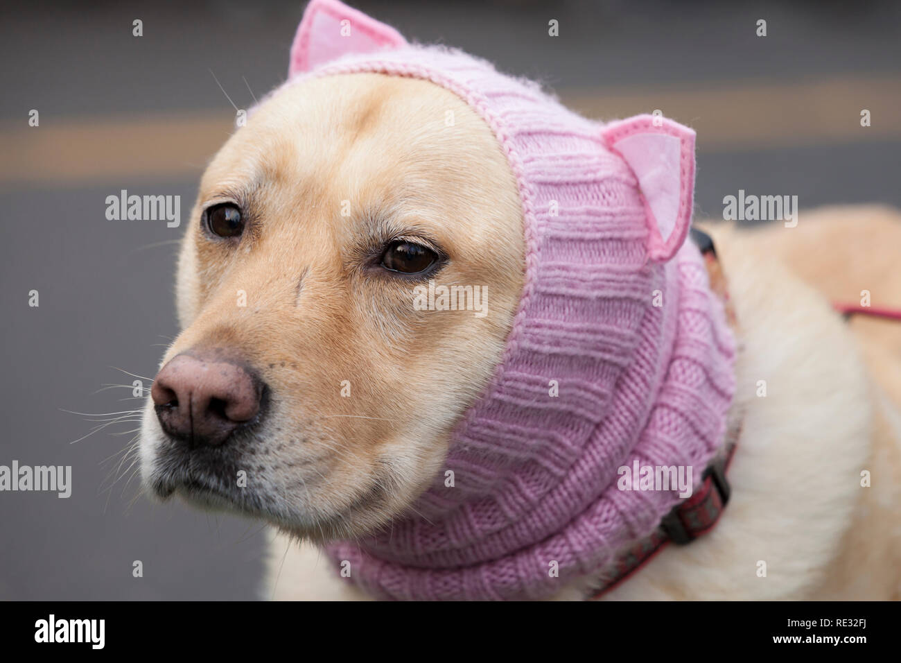 Washington, USA. 19th Jan 2019.  A compliant dog wears a pussyhat at the pre-march rally at Cal Anderson Park for the Womxn's March Seattle 2019. Saturday's March and Rally, organized by Seattle Womxn Marching Forward in collaboration with MLK Day organizers, will be followed on Sunday by a day of action and Monday MLK Day events honoring Martin Luther King Jr. Sunday's Womxn Act on Seattle is a citywide day of learning, supporting, sharing, and acting on behalf of nonprofit organizations, grassroots and social justice groups in Seattle. - Stock Image