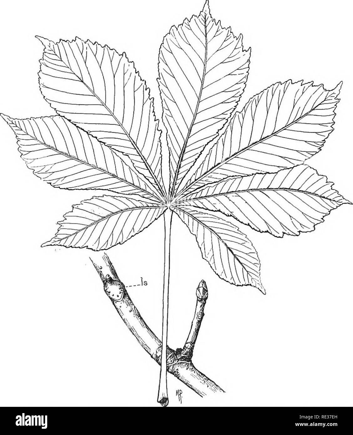. Fundamentals of botany. Botany. 36 THE VEGETATIVE FUNCTIONS OF PLANTS converge at the base of the blade (Fig. 22). They may be traced from this point, through the petiole, into the branch. The veins are composed of fibers and vessels,. Fig. 28.—Horse-chestnut {Aesculus Hippocastanum). Is, leaf-scar, showing scars of seven fibro-vascular bundles, corresponding, in number, to the seven leaflets of the compound leaf, formerly attached at Is. The leaf is drawn to a smaller scale than the branch. closely associated, and are, therefore, calltA fihro-vascular bundles. A cross-section of the petiole - Stock Image
