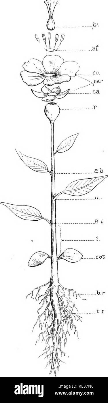 """. Fundamentals of botany. Botany. Fig. 6. Fig. 6.—Leaf of a willow {Salix Sp.). b, blade; p, petiole; s, stipules. Fig. 7.—Diagram to show the essential parts of a """"flower- ing"""" plant. t.r., tap-root; b.r., branch root; cot. seed-leaf (cotyle- don); i, internode; a.l, leaf-axil; n, node; a.b, axillary bud; r, receptacle of floral organs; ca, calyx; per, perianth; co, corolla; st, stamens (androecium); pi, pistil (gynoecium).. Fig. 7.. Please note that these images are extracted from scanned page images that may have been digitally enhanced for readability - coloration and appearance  - Stock Image"""