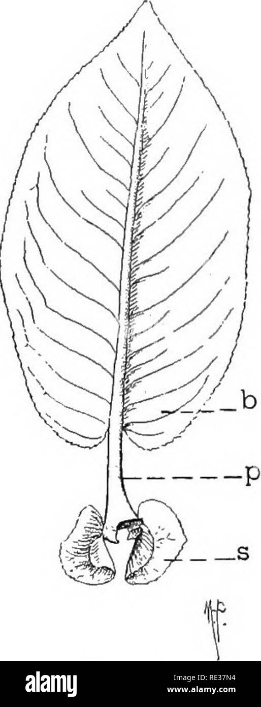 """. Fundamentals of botany. Botany. INTRODUCTION. Fig. 6. Fig. 6.—Leaf of a willow {Salix Sp.). b, blade; p, petiole; s, stipules. Fig. 7.—Diagram to show the essential parts of a """"flower- ing"""" plant. t.r., tap-root; b.r., branch root; cot. seed-leaf (cotyle- don); i, internode; a.l, leaf-axil; n, node; a.b, axillary bud; r, receptacle of floral organs; ca, calyx; per, perianth; co, corolla; st, stamens (androecium); pi, pistil (gynoecium).. Please note that these images are extracted from scanned page images that may have been digitally enhanced for readability - coloration and appear - Stock Image"""