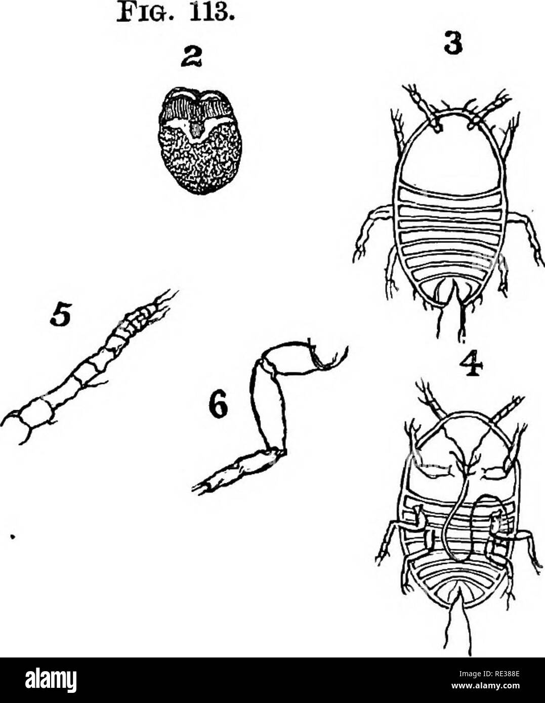 . Manual of the apiary. Bees. 288 MANUAL OP THE APIARY. visible when magnified 30 or 40 diameters. The 9-jointed abdomen is deeply eniarginate, or cut into posteriorly, (Fig. 113, 3), and on each side of this slit is a projecting stylet or hair, (Figs. 113, 3 and 4), while from between the eyes, on the under side of the head, extends the long recurved beak, (Fig. 113, 4). The larvae soon leave the scales, crawl about the tree, and finally fasten by inserting their long slender beaks, when they so pump up the sap that they grow with surprising rapidity. In a few weeks their legs and antennae se - Stock Image