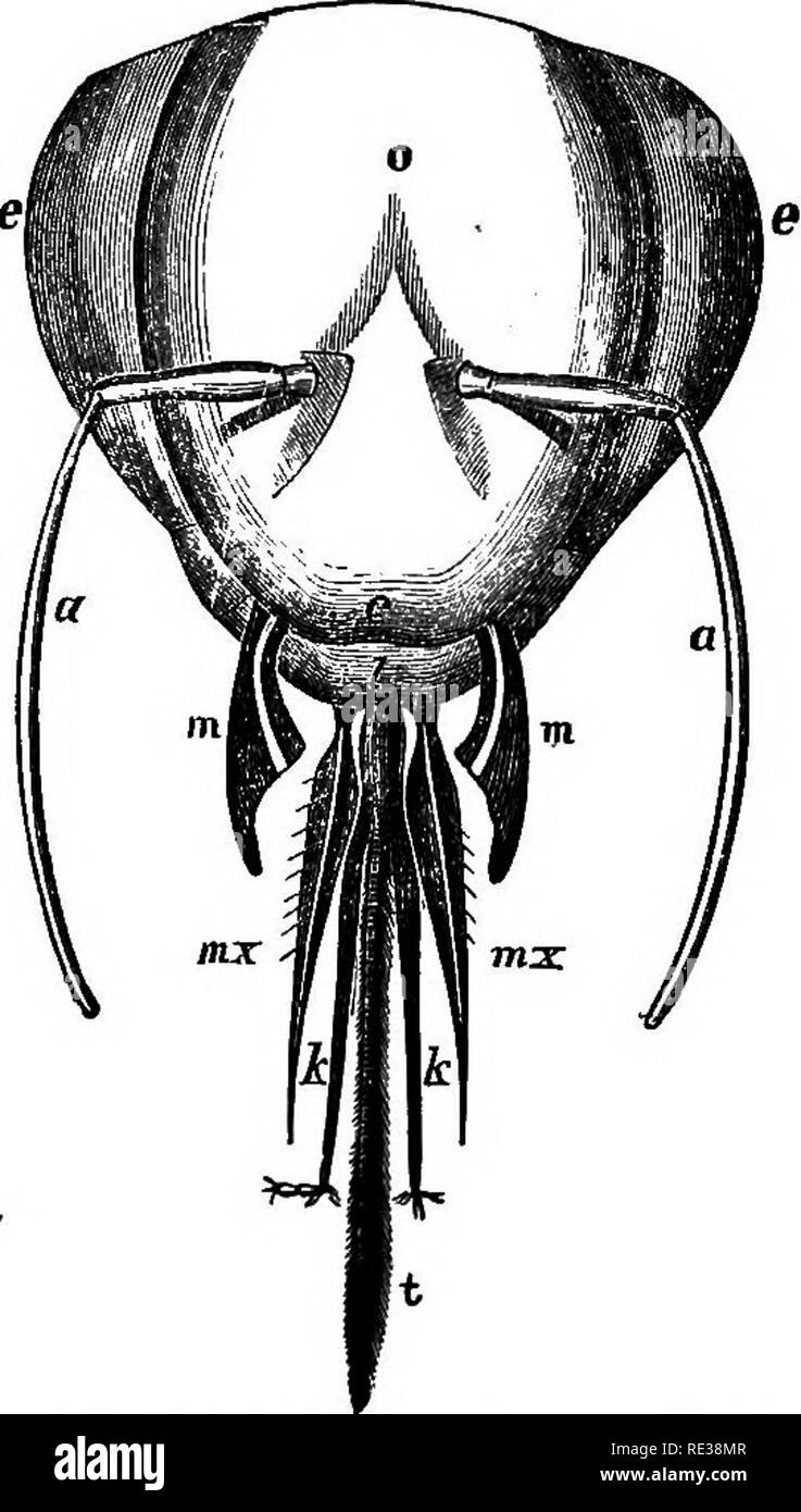 . Manual of the apiary. Bees. MANUAL OF THE APIARY. 49 The labium (Fig. 15) is not described by the name under lip, as its base forms the floor of the mouth, and its tip tht tongue. The base is usually broad, and is called the men- tum, and from this extends the tongue (Fig. 15, a) or ligula. Fig. 6.. Head, of Bee tnudi magnified. o—Bpicranium. e e—Compound eyes. a a—AnteniuB. «—eiypeus. J—Labrum. m a>-2d Jaws. h Jc—Labial palpi, t—liigula. X On either side, near the junction of the ligula and mehtum, arises a jointed organ rarely absent, called the labial palpus (Fig. 6, M), or, together, - Stock Image