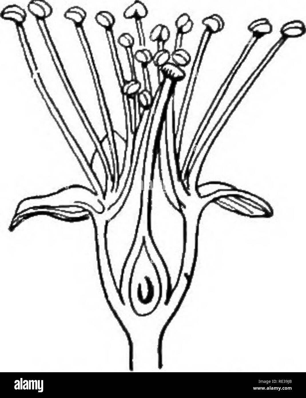 . A practical course in botany, with especial reference to its bearings on agriculture, economics, and sanitation. Botany. THE FLOWER 209 ovules and seeds. Draw the ovary in cross and vertical sections, labeling correctly all the parts. 229. The numerical plan of dicotyls. — Diagram the plan of the flower in cross and vertical section. How many parts are there in each set ? Can you tell readily the number of stamens? When the indi- viduals of any set or cycle of organs are too numerous to be easily, counted, like the stamens of the apple, pear, and peach, or the petals of the water lily, they  - Stock Image